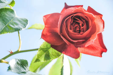 Rose by Lasqueti-Ronnie
