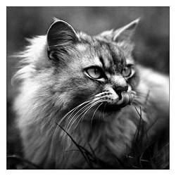 wild cat... by Christophe-Niel