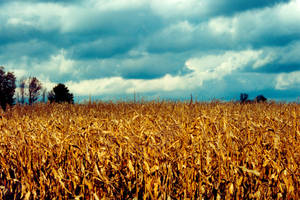 Corn Field in Autum by Nystagmuz-stock