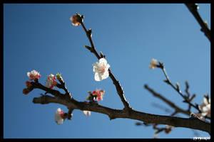 Prunus Dulcis by NeoRavenous