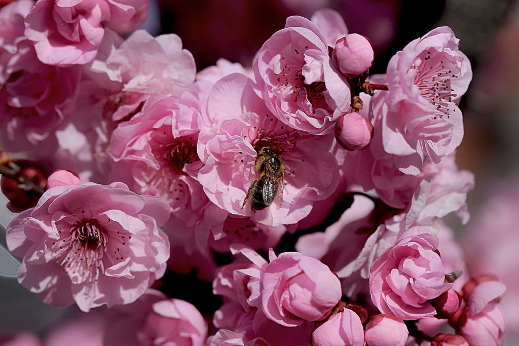 Honey Bee on Pink by Cairngorm747