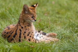 Tiny Serval by ludovicjamet