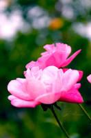 Pink Pulps by jardorocks