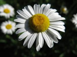 Daisy by MegnRox15