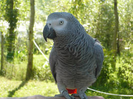 African Grey Parrot by Vempje