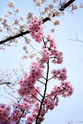 Sakura by Elkenar
