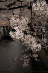 Sakura II by Elkenar
