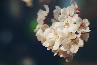 sakura by 0aki0