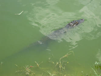 Lake Alice Alligator #3 by AgnosticDragon