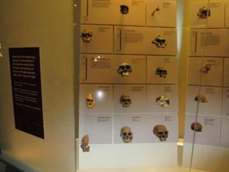 Early human skulls by AgnosticDragon