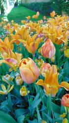 Tulips by Alinnela
