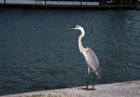 Rockport, TX - Crane 1 by policegirl01