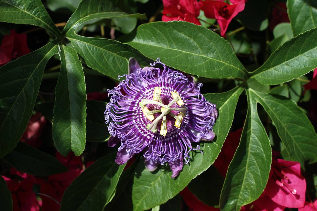 Passion Flower (1) by NickBentonArt