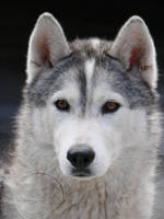 Husky look by orcafreedom1