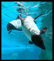 Commersons Dolphins by orcafreedom1