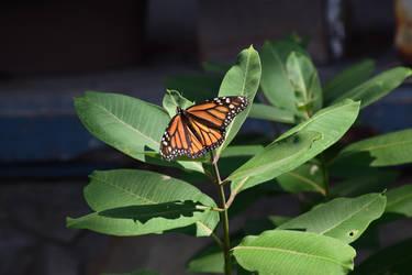 Monarch in a yard by cecil92
