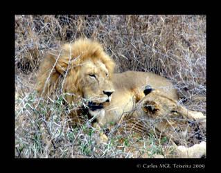 Panthera leo by Starkhyel
