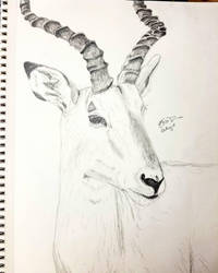 Impala by Safarisketch