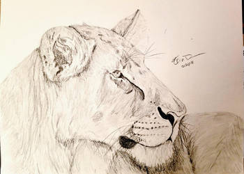 Lioness by Safarisketch