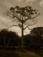 Giant tree by Mallophora