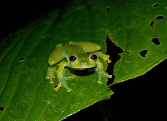 Glass-frog face! by Mallophora
