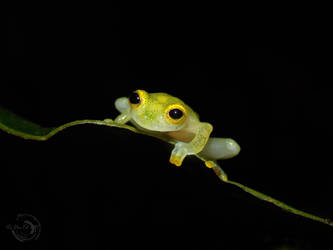 Little glass-frog by Mallophora