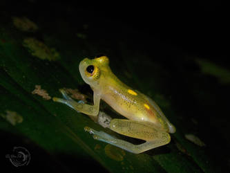 Little glass frog- Lateral view by Mallophora