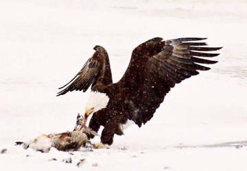 Bald Eagle by Crynolyn
