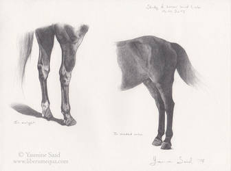 Study of horses' hind limbs by LiberaEqua