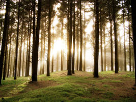 Foggy Forest Sunrise by sculpted1