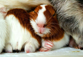 guinea pigs III by littlelionpaw