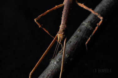 Medauroidea extradentata by La-Bambola