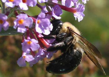 Bee Balm by flamingochick