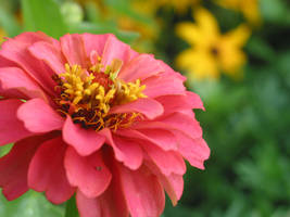 First Pink Zinnia by flamingochick