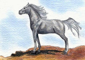 Fleabit Grey Arabian ACEO by calzephyr