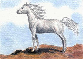 White Arabian ACEO by calzephyr