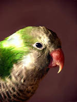 Jack - Quaker Parrot by calzephyr