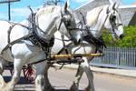 Draft horse team, Heritage Park, Calgary, Alberta by calzephyr