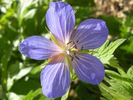 Purple Flower, Banff by calzephyr
