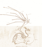 European dragon anatomy BONE by Savamther