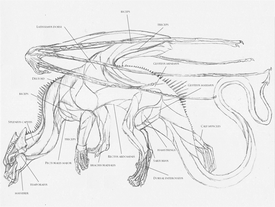European dragon anatomy MUSCLE by Savamther