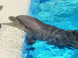 Dolphin by knscoop