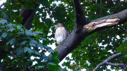 Red Tail Hawk by spaceturtle