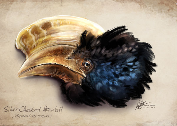 Silver Cheeked Hornbill by ISHAWEE