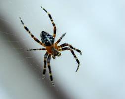 Next spider by KSnake