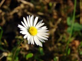 Daisy by KSnake