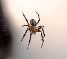 Spider again by KSnake