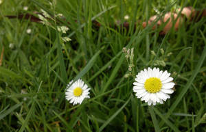 Daisies - my phone is better than camera :) by KSnake