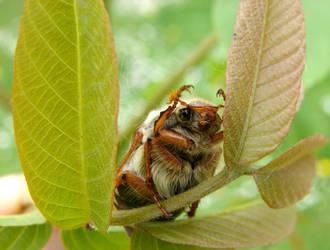 May Bug 1 by KSnake