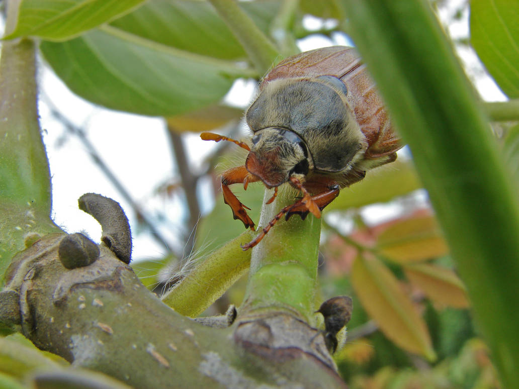 May Bug 3 by KSnake